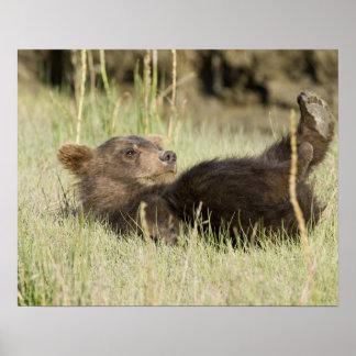 USA. Alaska. Coastal Brown Bear cub at Silver 2 Print