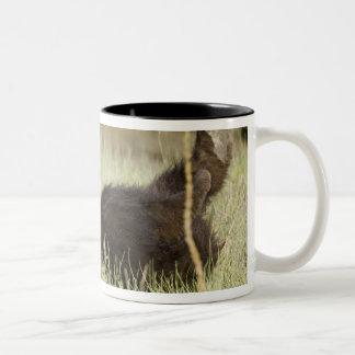 USA. Alaska. Coastal Brown Bear cub at Silver 2 Two-Tone Coffee Mug