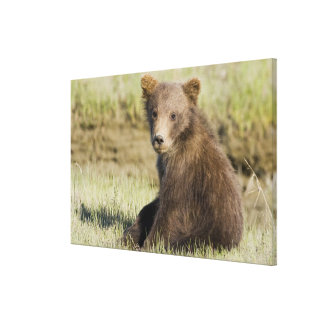 USA. Alaska. Coastal Brown Bear cub at Silver 3 Stretched Canvas Print