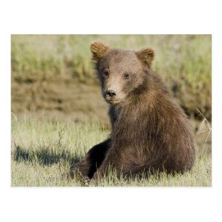 USA. Alaska. Coastal Brown Bear cub at Silver 3 Postcard