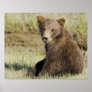 USA. Alaska. Coastal Brown Bear cub at Silver 3 Posters
