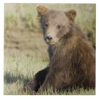 USA. Alaska. Coastal Brown Bear cub at Silver 3 Tile