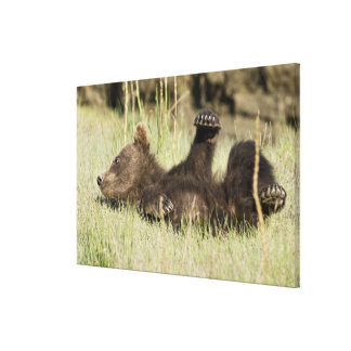 USA. Alaska. Coastal Brown Bear cub at Silver Canvas Prints