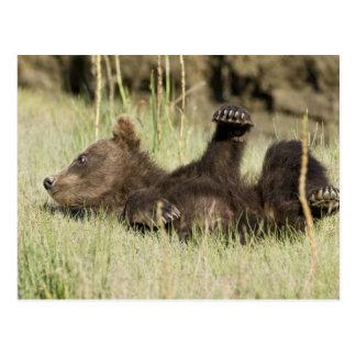 USA. Alaska. Coastal Brown Bear cub at Silver Postcard