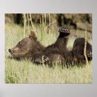 USA. Alaska. Coastal Brown Bear cub at Silver Poster