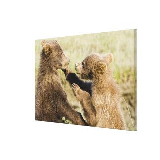 USA. Alaska. Coastal Brown Bear cubs at Silver Canvas Print