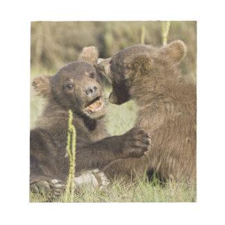 USA. Alaska. Coastal Brown Bear cubs at Silver Notepad