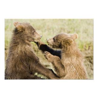 USA. Alaska. Coastal Brown Bear cubs at Silver Photograph