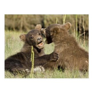 USA. Alaska. Coastal Brown Bear cubs at Silver Postcards