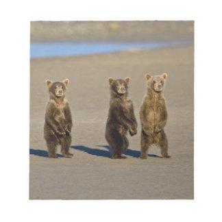 USA. Alaska. Coastal Brown Bear cubs watch their Note Pad