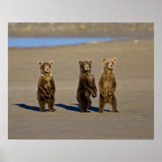 USA. Alaska. Coastal Brown Bear cubs watch their Print