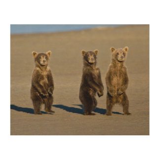 USA. Alaska. Coastal Brown Bear cubs watch their Wood Print