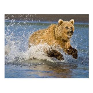 USA. Alaska. Coastal Brown Bear fishing for 2 Postcard