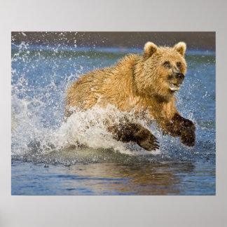 USA. Alaska. Coastal Brown Bear fishing for 2 Poster