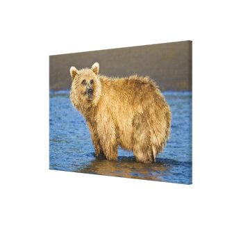 USA. Alaska. Coastal Brown Bear fishing for Gallery Wrap Canvas
