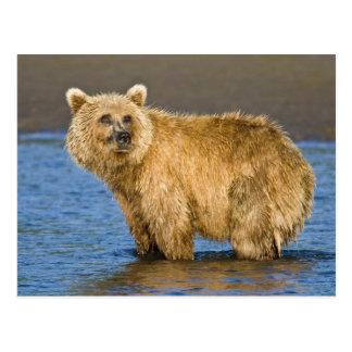 USA. Alaska. Coastal Brown Bear fishing for Postcard