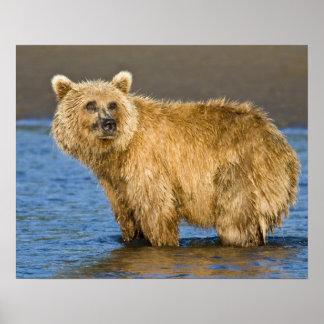 USA. Alaska. Coastal Brown Bear fishing for Posters