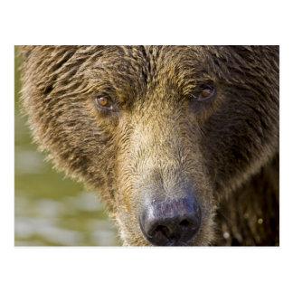 USA. Alaska. Concentration-A coastal brown bear Postcard