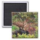 USA, Alaska, Denali National Park, Bull Moose Magnet