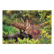 USA, Alaska, Denali National Park, Bull Moose Photo Print