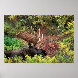 USA, Alaska, Denali National Park, Bull Moose Poster