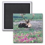 USA, Alaska, Denali National Park, Caribou 2 Inch Square Magnet
