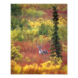 USA, Alaska, Denali National Park. Caribou and Photo Print