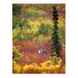USA, Alaska, Denali National Park. Caribou and Postcard