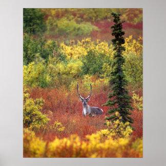 USA, Alaska, Denali National Park. Caribou and Posters