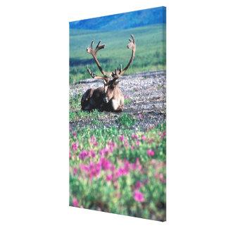 USA, Alaska, Denali National Park, Caribou Stretched Canvas Print