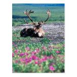 USA, Alaska, Denali National Park, Caribou Postcard