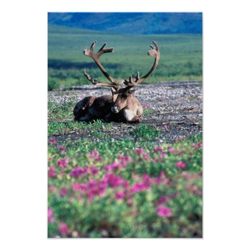 USA, Alaska, Denali National Park, Caribou Poster