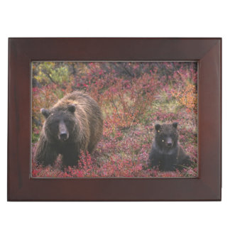 USA, Alaska, Denali National Park. Grizzly bear Memory Box