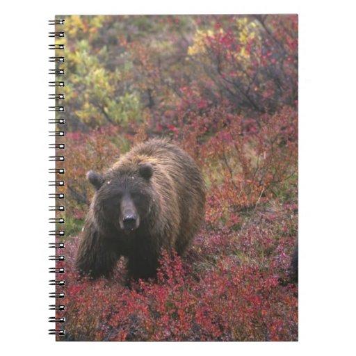 USA, Alaska, Denali National Park. Grizzly bear Note Book