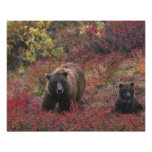 USA, Alaska, Denali National Park. Grizzly bear Poster