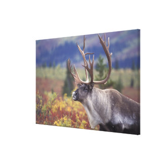 USA, Alaska, Denali NP, Caribou in fall tundra. Gallery Wrapped Canvas