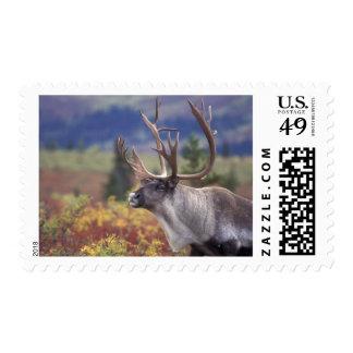 USA, Alaska, Denali NP, Caribou in fall tundra. Postage