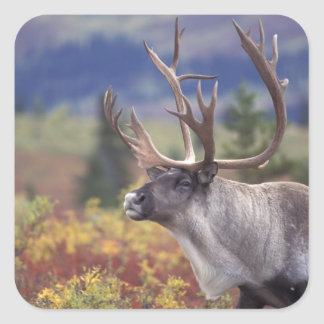 USA, Alaska, Denali NP, Caribou in fall tundra. Stickers