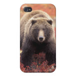 USA, Alaska, Denali NP, female Grizzly Bear Cover For iPhone 4
