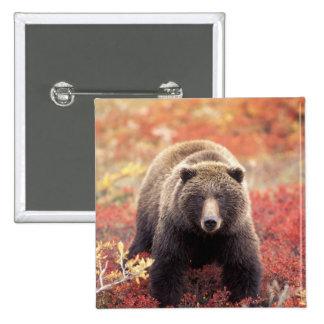 USA, Alaska, Denali NP, female Grizzly Bear Pinback Button