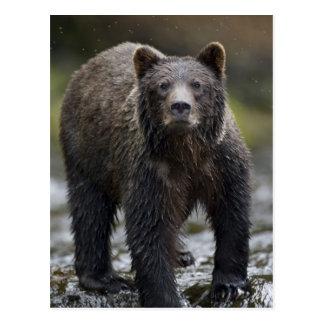 USA, Alaska, Freshwater Bay, Brown Grizzly) Postcard