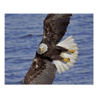 USA, Alaska, Homer. Bald eagle diving above Poster