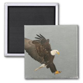 USA, Alaska, Homer. Bald eagle in landing 2 Inch Square Magnet