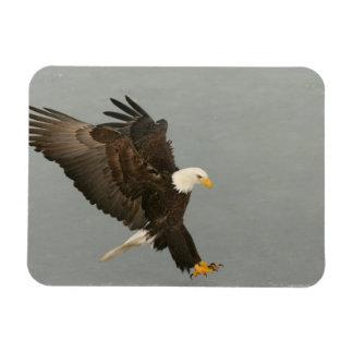 USA, Alaska, Homer. Bald eagle in landing Rectangular Photo Magnet