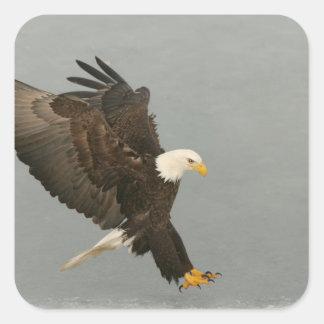USA, Alaska, Homer. Bald eagle in landing Square Sticker