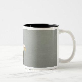 USA, Alaska, Homer. Bald eagle in landing Two-Tone Coffee Mug