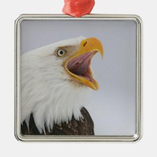 USA, Alaska, Homer. Bald eagle screaming. Credit Metal Ornament