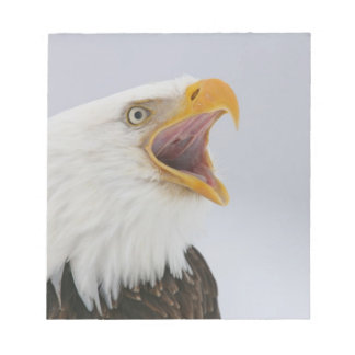 USA, Alaska, Homer. Bald eagle screaming. Credit Notepad