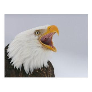 USA, Alaska, Homer. Bald eagle screaming. Credit Postcard