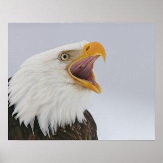 USA, Alaska, Homer. Bald eagle screaming. Credit Poster